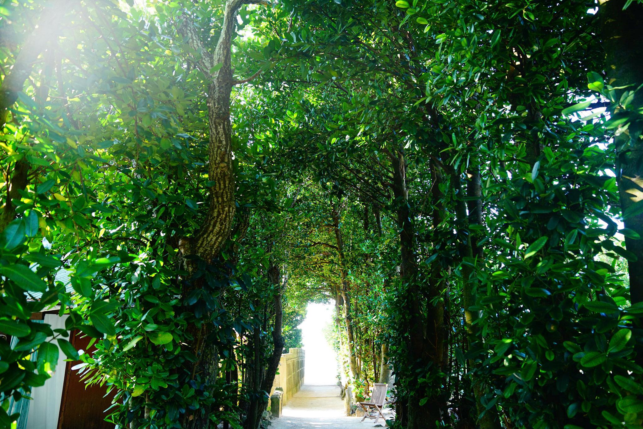 フクギ並木の道